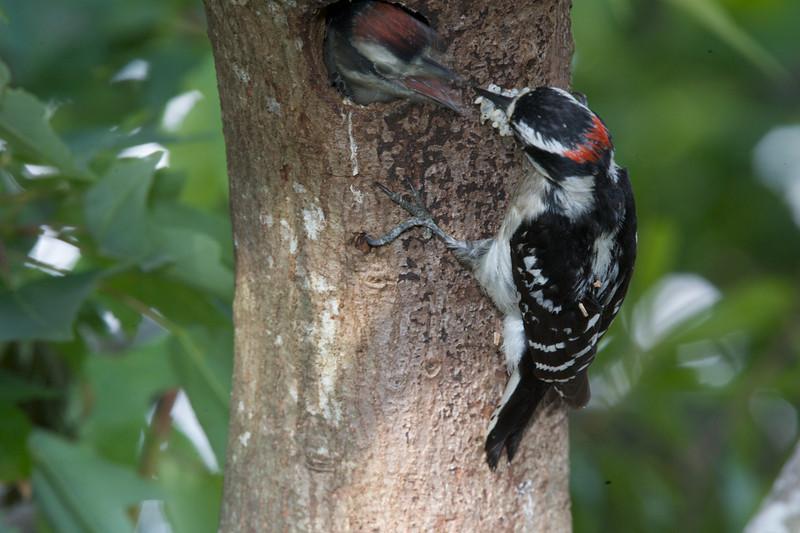 Downey Woodpeckers & Babies