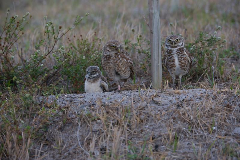 Burrowing Owls at FAU