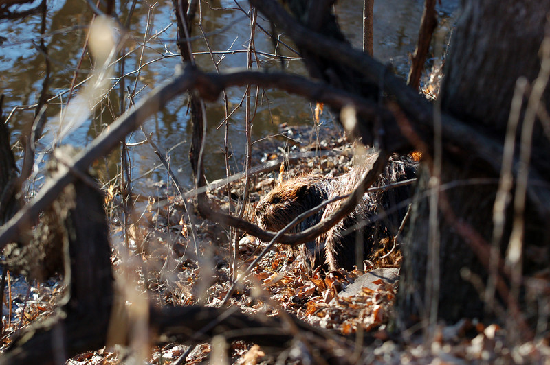 On a late March day, along the Mississippi River's west shore, a beaver masks its movements among dead leaves and bare branches.