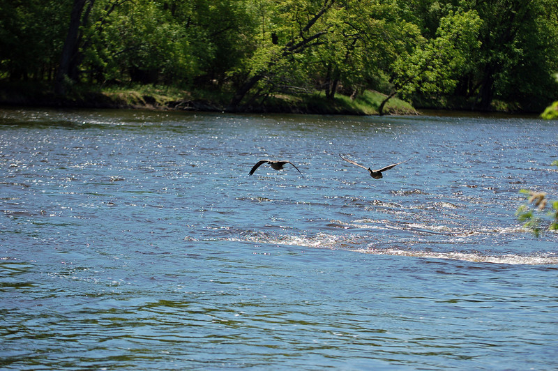 A pair of Canada geese take flight among the Beaver Islands.