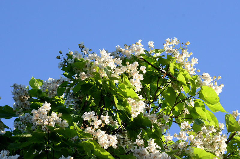 A catalpa tree in bloom in the historic University-Southside neighborhood, west of campus.