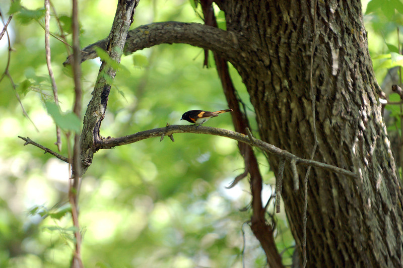 On one of the Beaver Islands, an American redstart searches for insects on which to feed.