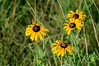 Black-eyed susans at Sand Prairie.