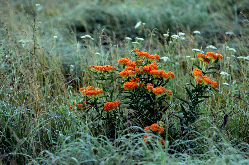 ALTERNATE: Butterfly weed at Sand Prairie.