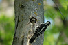 A pair of hairy woodpeckers taken turns feeding their young in a cavity nest.