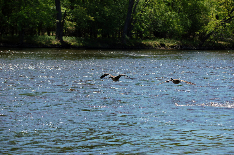 ALTERNATE: A pair of Canada geese take flight among the Beaver Islands.