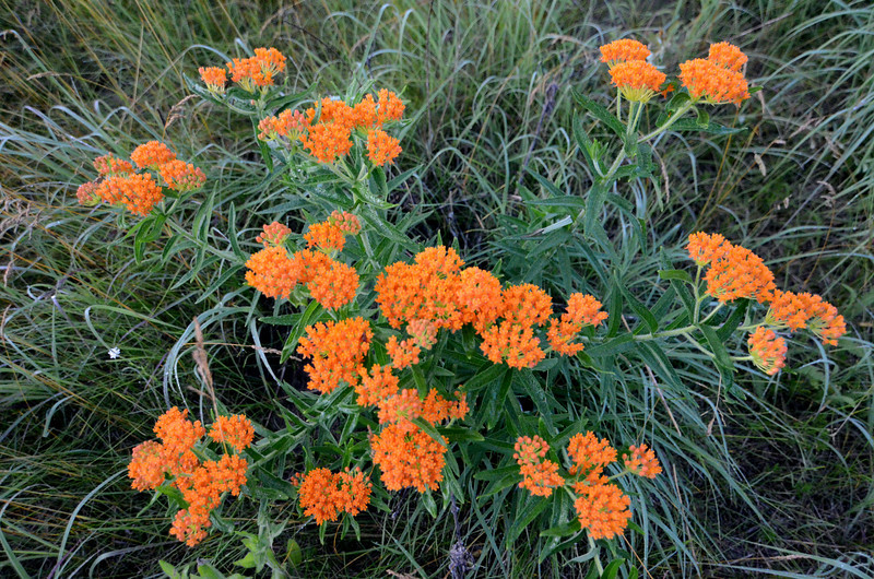 A clump of butterfly weed at Sand Prairie.