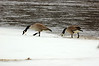 Canada geese await ice-out on the Mississippi River, south of campus.