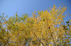 Aspen at Sand Prairie reach for a cloudless fall sky.