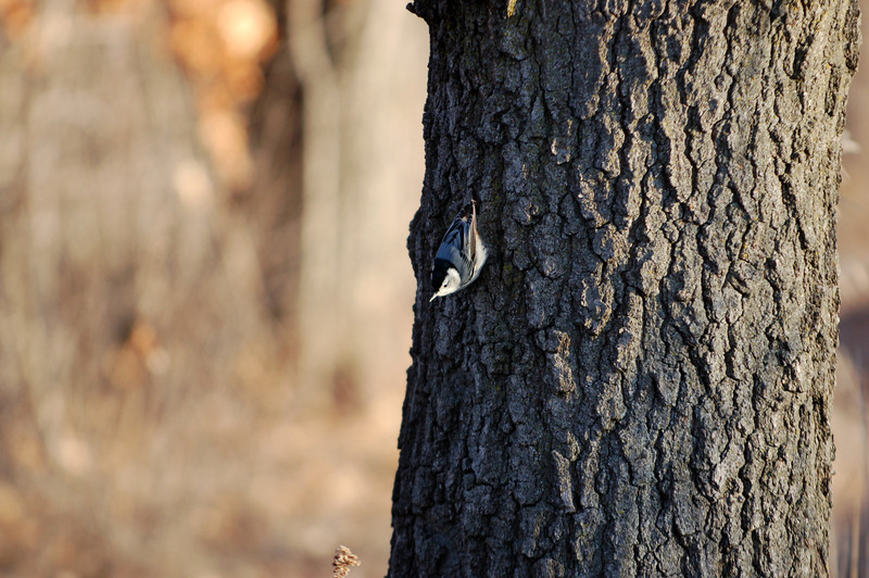 A black-capped chickadee forages for insects along the Mississippi River's west shore.