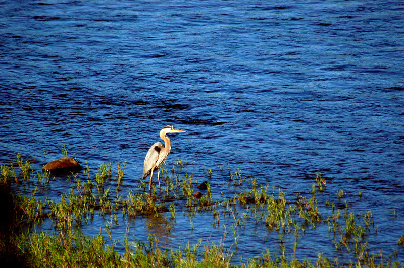 ALTERNATE: A great blue heron hunts in the shallows south of University Bridge.