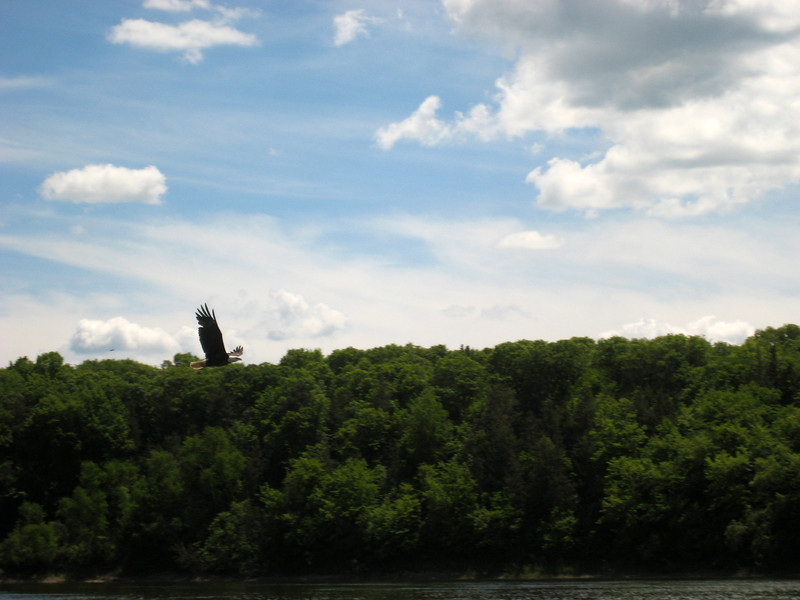 A bald eagle among the Beaver Islands. Photo by Sarah Bruemmer.