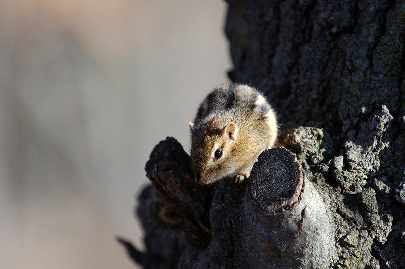 An Eastern Chipmunk rests in a red oak tree.