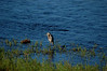 A great blue heron hunts in the shallows south of University Bridge.