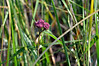 Swamp milkweed at Sand Prairie.