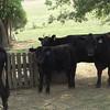 Same cows
