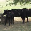 Hey! Cows!