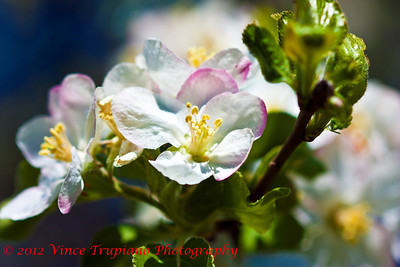 Apple Blossoms - 2012