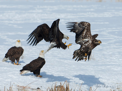 Time to get outa here, American  Bald Eagle, Northern UT winter