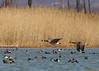 Duck, duck, (duck, duck...), goose, goose