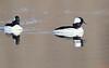 Lead duck