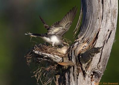 2nd kingbird nest - after the fuzz