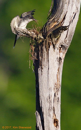 2nd kingbird nest - it's going to take a few more trips
