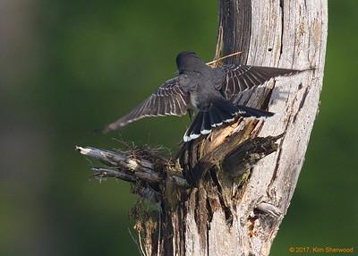 2nd kingbird nest - coming along