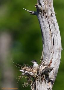 2nd kingbird nest - lookin' better