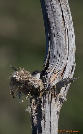 1st kingbird nest - surveying the nursery