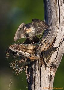 2nd kingbird nest - this'll keep 'em cozy