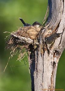 2nd kingbird nest - co zee