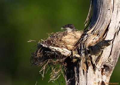 2nd kingbird nest - pftttt