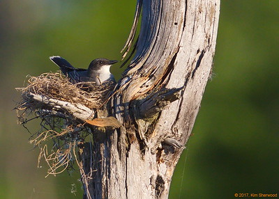 2nd kingbird nest - this just might work