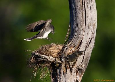 2nd kingbird nest - I see the spot