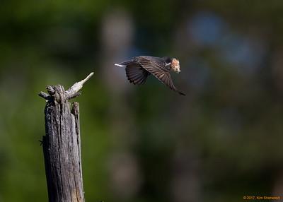 1st kingbird nest - flying the cattail fuzz in