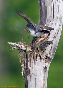 2nd kingbird nest - many stems; less trips