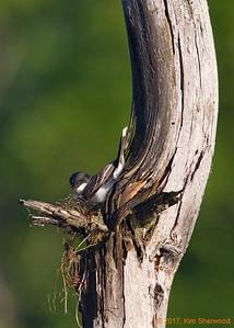 2nd kingbird nest - not well padded