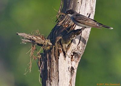 2nd kingbird nest - gotta start somewhere