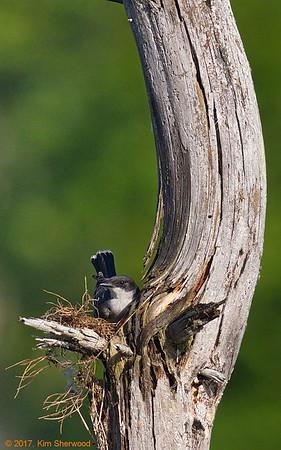 2nd kingbird nest - now we're cookin'