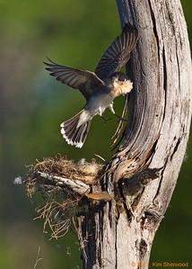 2nd kingbird nest - flyin' blind
