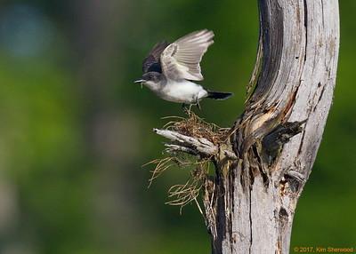 2nd kingbird nest - still need more
