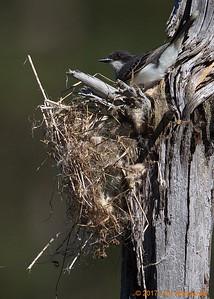 1st kingbird nest - windblown
