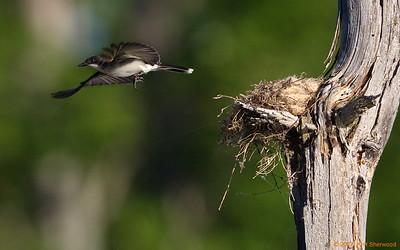 2nd kingbird nest - home base