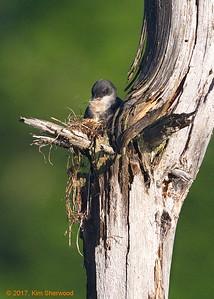 2nd kingbird nest - slowly but surely
