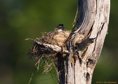 2nd kingbird nest - blechh