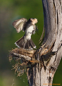 2nd kingbird nest - more fluff; less vision