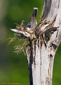 2nd kingbird nest - taking shape