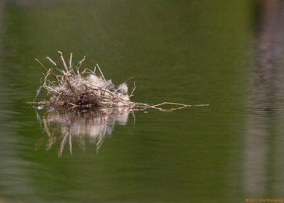 1st kingbird nest - its fate
