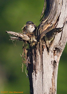2nd kingbird nest - a place for everything